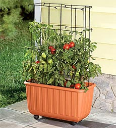 How to Grow Patio Tomatoes!