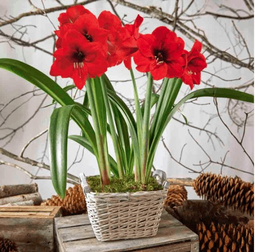 Farmhouse decor amaryllis plant idea